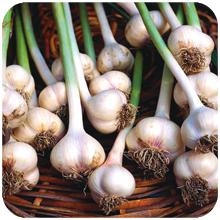 Allium sativum (garlic)