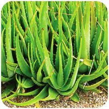 Aloe barbadensis