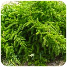 Asparagus adscendens