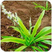 Chlorophytum arundinaceum