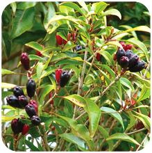 Syzygium aromaticum (Clove, Lavang)